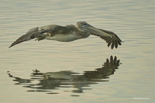 Pelican hovering at Huntington Beach State Park, Bill Angell Photographer