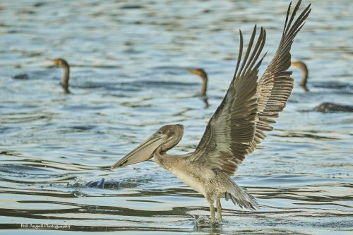 Pelican in flight, Huntington Beach State Park, Bill Angell photo