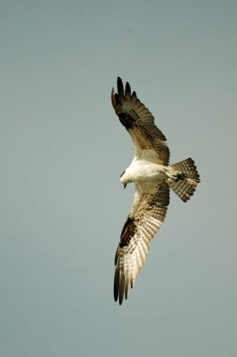 Osprey at Huntington Beach State Park, Bill Angell Photography