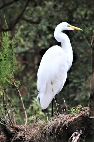 White egret at Assateague