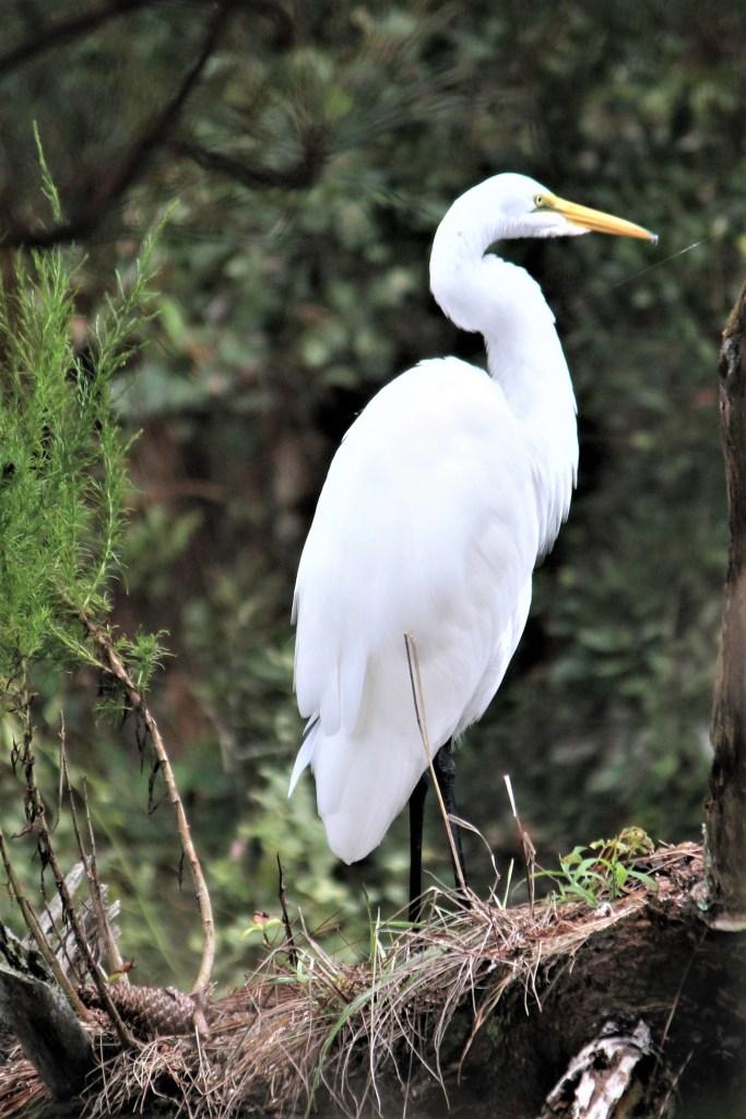 White egret at Assateague