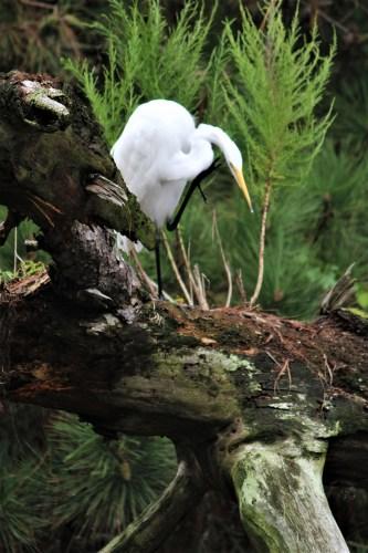 White egret, Assateague