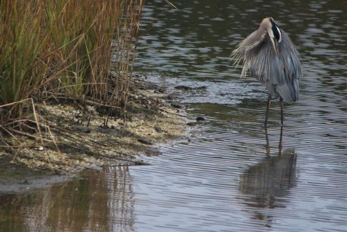 Gray heron, Huntington Beach State Park, SC