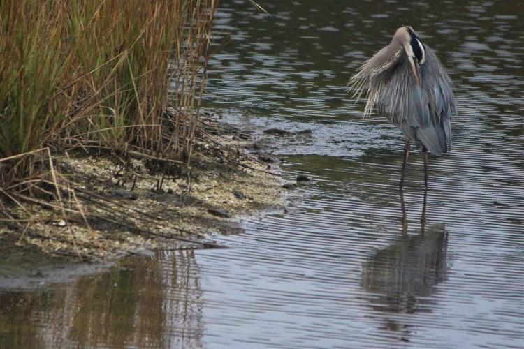 Gray heron, Huntington Beach State Park, SC