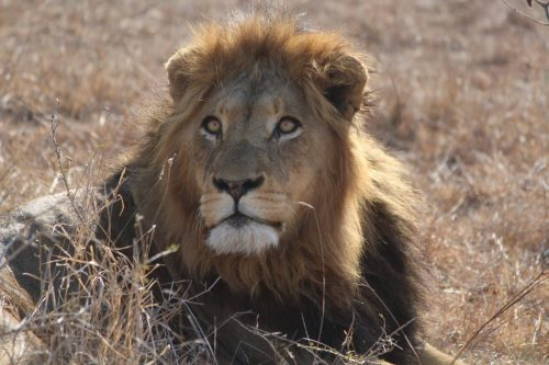 Lion at Thornybush River Lodge, South Africa