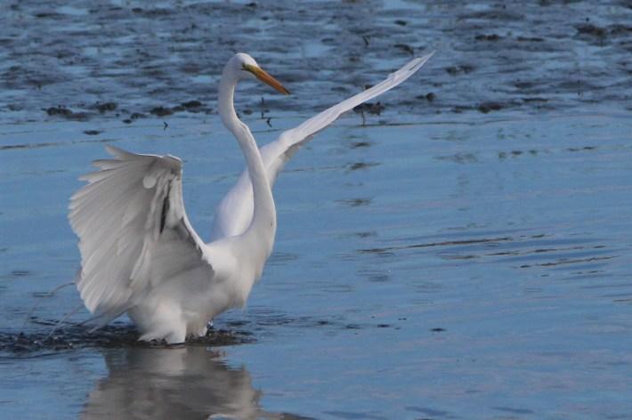 Heron landing, Huntington Beach State Park, SC