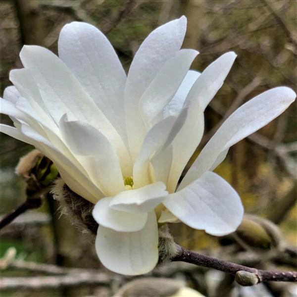 White Star, White Magnolia - first flower of spring