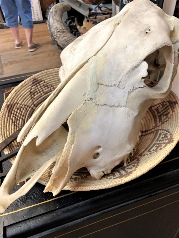 Cross-Eyed Moose -- skull