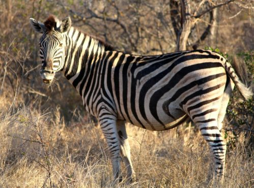 Zebra at Thornybush S. Africa