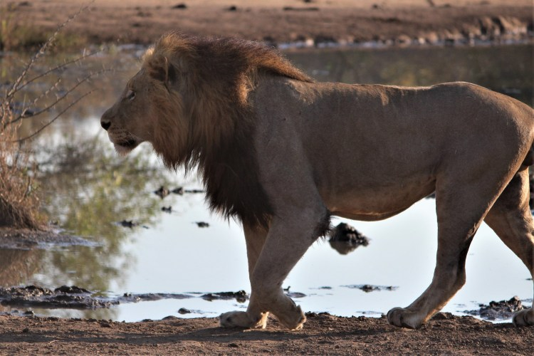 Lion walking, Thornybush Game Reserve, S. Africa