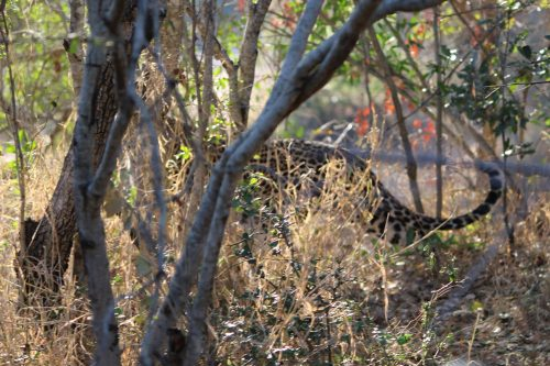 Cheetah on the move, Thornybush Game Reserve, S. Africa