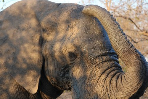 Elephant in mud bath, Thornybush Game Reserve, S. Africa