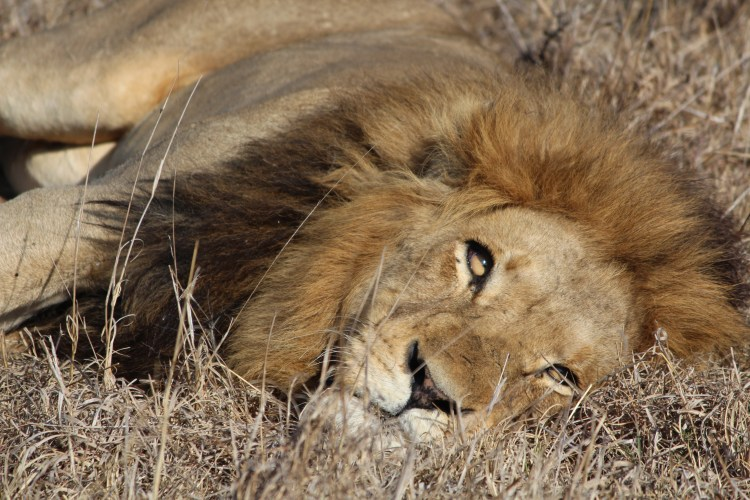 Awakening lion, Thornybush Game Reserve, S. Africa