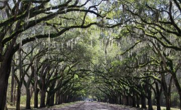 Wormsloe Historic Site, drive