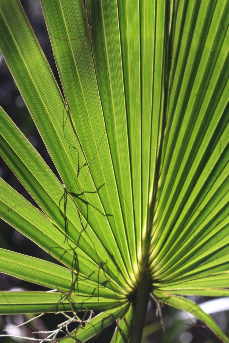 Wormsloe, Sabal Palmetto frond