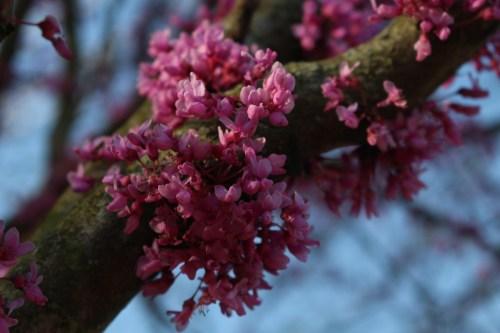 Redbud blooms, UT Gardens