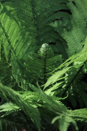 New ferns, UT Gardens, Knoxville