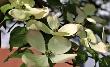 White dogwoods in shadows, UT Gardens, Knoxville
