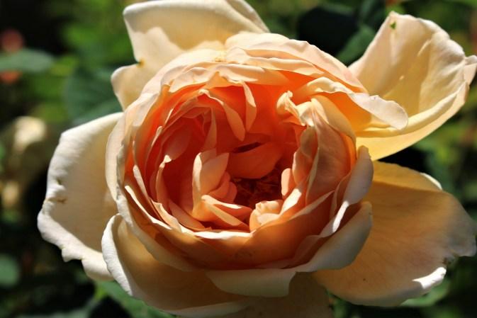 Orange rose, Knoxville, TN