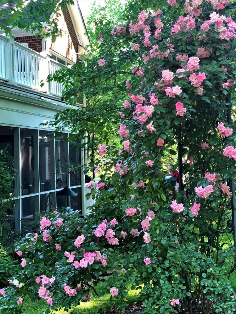 Pink roses climb trellis, Knoxville, TN
