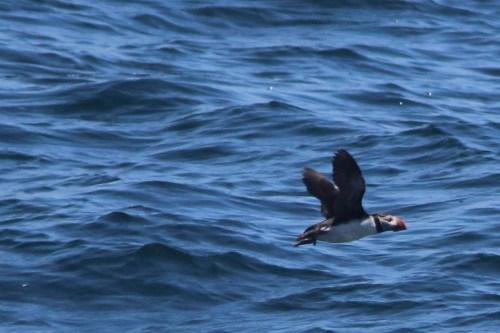 New Harbor Maine, puffin in flight