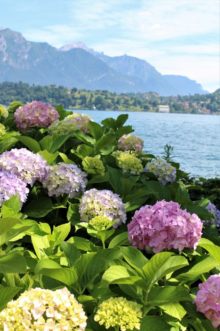 View of Lake Como with hydrangeas