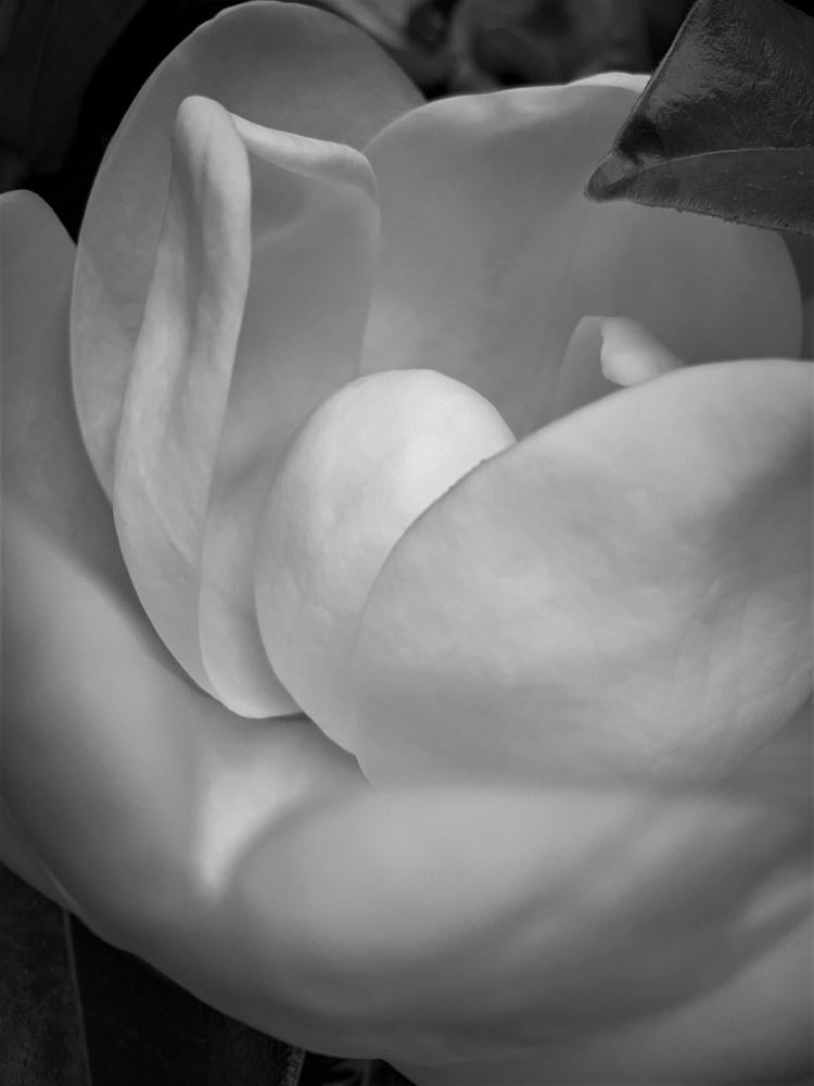 Southern magnolia unfolding