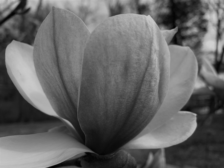 Saucer magnolia in black and white