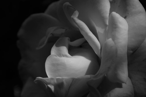 Pink rose in black and white