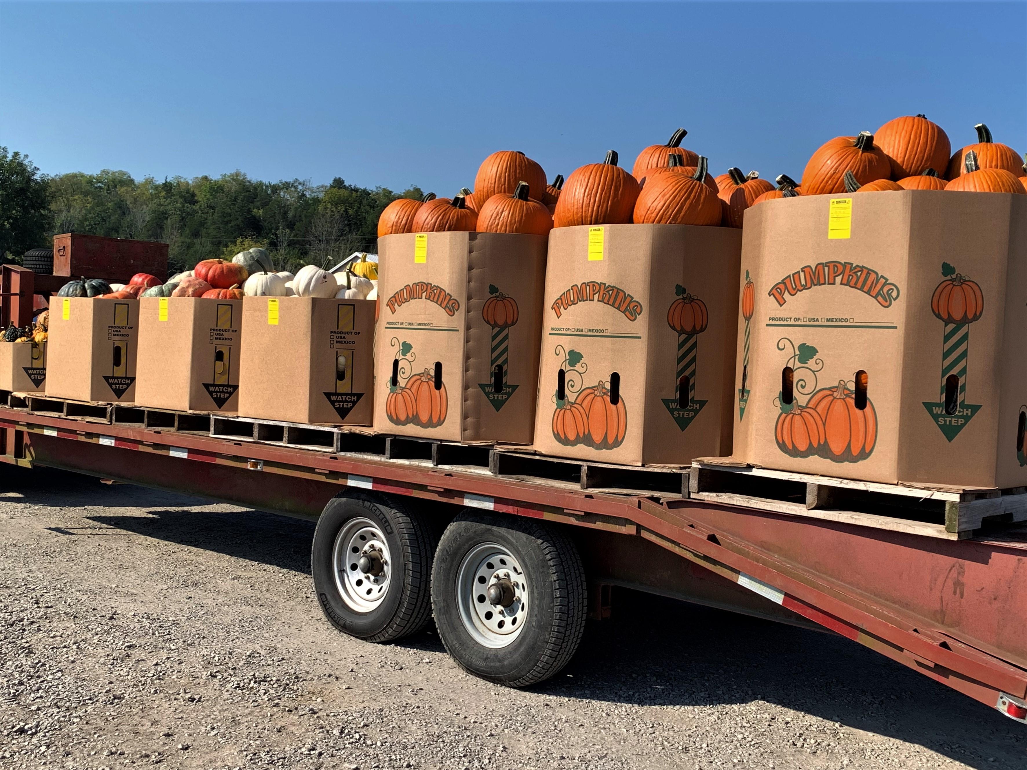 Boxed by size, pumpkins await bidding at Crab Orchard, Kentucky