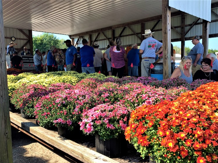 Mums in auction lot, Crab Orchard, Kentucky