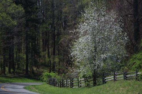 Spring flowering tree, Blue Ridge Parkway