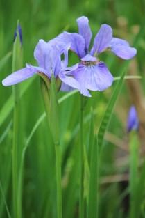 Pale lavender Tennessee iris