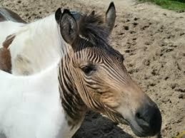 Image of the head of a zebroid horse zebra cross animal with white body and black and brown striped head
