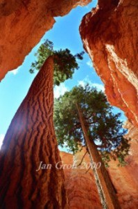 image of a slightly bent almost bare evergreen tree from the perspective of the ground looking toward the sunny sky between two tall red rock faces