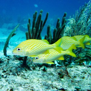 There were lots of Yellow Tailed Snappers