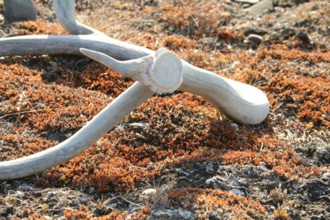 Reindeer horn on tundra, Wrangel Island