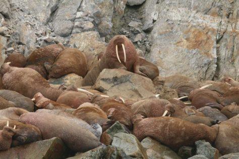 Walrus haul-out, Kolyuchin Island