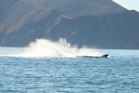 Grey whale breaching at Itygran Island (3)