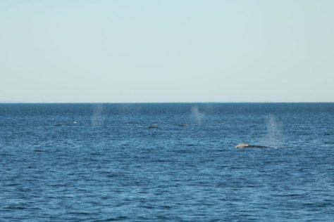 Grey whales off Uelen, Cape Dezhnev