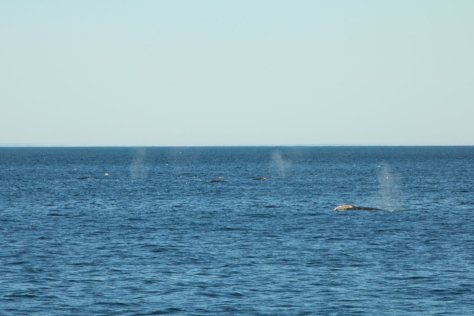 Grey whales off Uelen, Cape Dezhnev