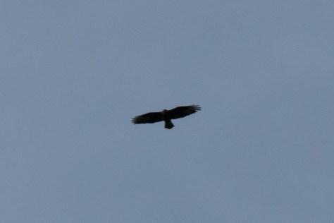 Golden Eagle, Canna