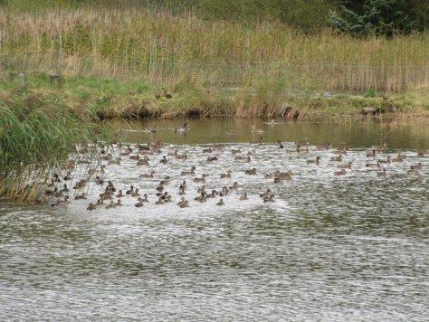 Ducks on lochan below Hoole Hill