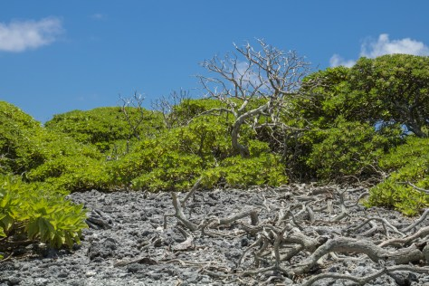 Octopus bush on Ducie Island