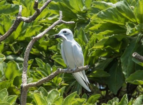 White tern, Ducie Island