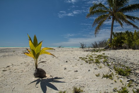 Sprouting coconut, Oeno Island