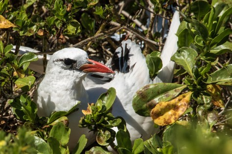 Red-tailed tropic bird, Oeno Island