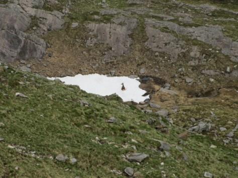 Deer resting in snow below Druim Shionnach