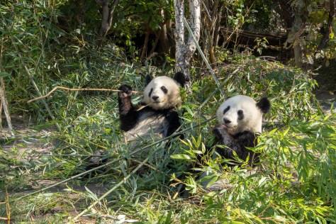 Pandas, Vienna Zoo