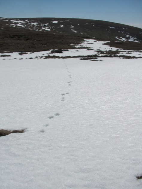 Hare tracks below Ben Tirran